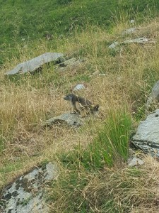 Una de las numerosas marmotas que vimos.
